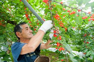 さくらんぼの収穫の写真素材 [FYI01762575]
