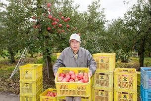 りんごの収穫の写真素材 [FYI01762677]