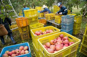 りんごの収穫の写真素材 [FYI01762750]