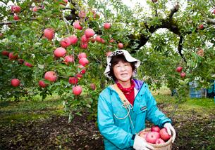 りんごの収穫の写真素材 [FYI01762991]