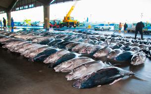 市場に並んだマグロ銚子港の写真素材 [FYI01763002]