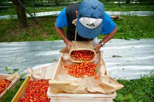 さくらんぼの収穫の写真素材 [FYI01763004]
