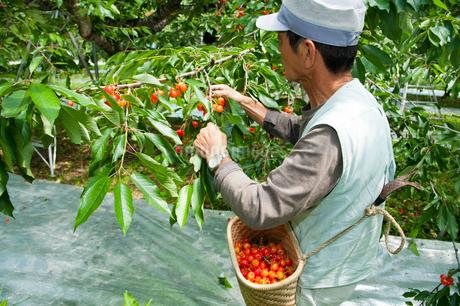 さくらんぼの収穫の写真素材 [FYI01763075]
