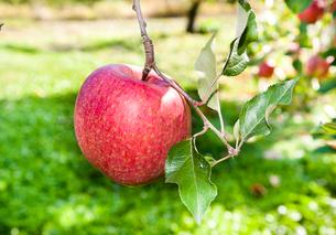 りんごの写真素材 [FYI01763221]
