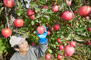 りんごの収穫の写真素材 [FYI01763237]