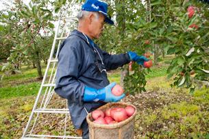 りんごの収穫の写真素材 [FYI01763414]
