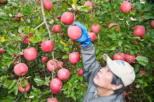 りんごの収穫の写真素材 [FYI01763465]