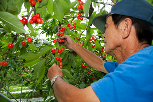 さくらんぼの収穫の写真素材 [FYI01763573]