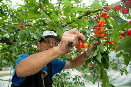 さくらんぼの収穫の写真素材 [FYI01763621]
