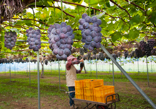 ピオーネの収穫の写真素材 [FYI01763871]