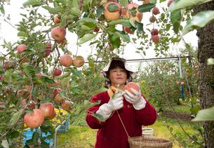 りんごの収穫の写真素材 [FYI01763958]