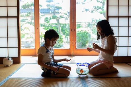 キンギョに餌をあげる姉弟の写真素材 [FYI01764254]