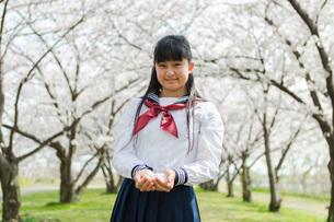 手の平に桜の花を集めた女子校生の写真素材 [FYI01764393]
