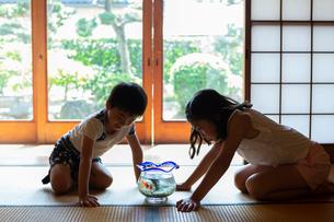 キンギョの観察をする姉弟の写真素材 [FYI01764641]