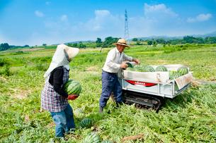 スイカの収穫の写真素材 [FYI01764939]