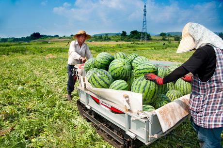 スイカの収穫の写真素材 [FYI01764952]
