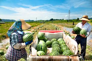 スイカの収穫の写真素材 [FYI01764970]