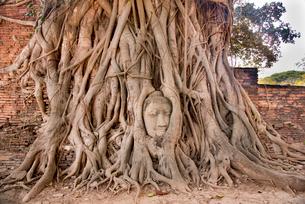 ワット・プラマハタート遺跡 木の根に埋まる仏頭の写真素材 [FYI01765027]