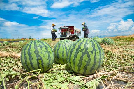 スイカの収穫の写真素材 [FYI01765108]
