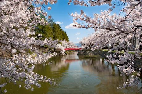 松が岬公園(上杉神社)の桜の写真素材 [FYI01765125]