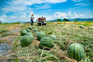 スイカの収穫の写真素材 [FYI01765248]