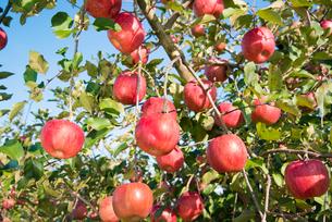 リンゴの写真素材 [FYI01765851]