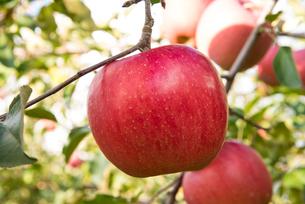 リンゴの写真素材 [FYI01765889]