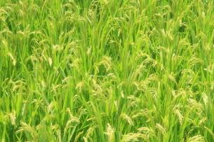 豊穣の緑色模様の写真素材 [FYI01765956]