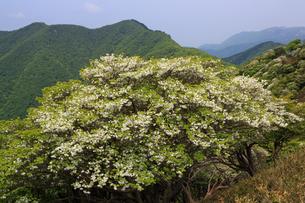 竜ヶ岳(鈴鹿山脈)に咲くシロヤシオの写真素材 [FYI01765976]