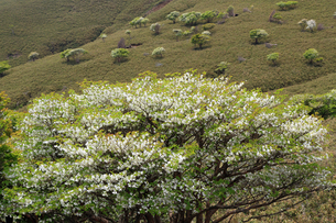竜ヶ岳(鈴鹿山脈)に咲くシロヤシオの写真素材 [FYI01765980]