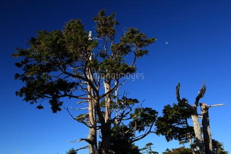 残月と枯木林の写真素材 [FYI01766144]