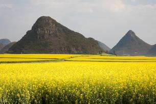 菜の花満開の羅平(中国雲南省)の写真素材 [FYI01766166]