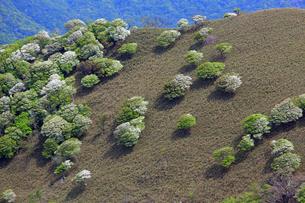 シロヤシオ満開の竜ヶ岳(鈴鹿山脈)の写真素材 [FYI01766279]