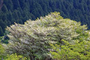 竜ヶ岳(鈴鹿山脈)に咲くシロヤシオの写真素材 [FYI01766338]