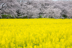 春爛漫の藤原宮跡の写真素材 [FYI01766362]