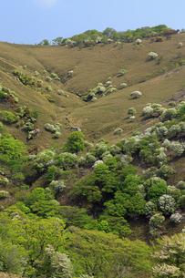シロヤシオ満開の竜ヶ岳(鈴鹿山脈)の写真素材 [FYI01766379]