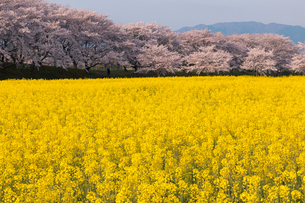 菜の花と桜満開の藤原宮跡の写真素材 [FYI01766404]