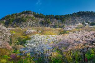 山桜満開の屏風岩公苑の写真素材 [FYI01766475]