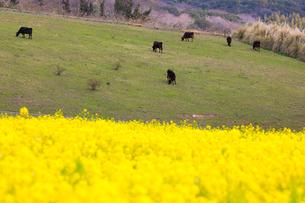菜の花畑と牧場の写真素材 [FYI01766496]