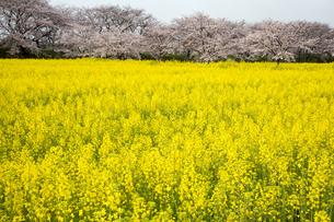 春爛漫の藤原宮跡の写真素材 [FYI01766613]