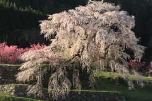 しだれ桜満開の写真素材 [FYI01766731]