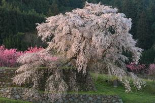 しだれ桜満開の写真素材 [FYI01766733]