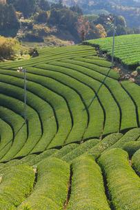 京都府 宇治茶の茶畑の写真素材 [FYI01766922]