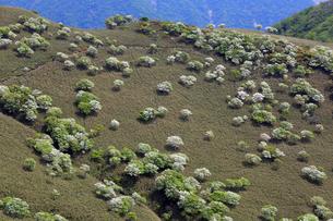 シロヤシオ満開の竜ヶ岳(鈴鹿山脈)の写真素材 [FYI01766924]