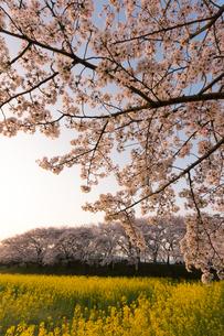 菜の花と桜満開の藤原宮跡の写真素材 [FYI01766933]