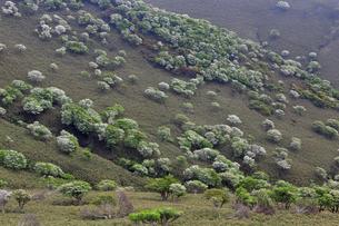 シロヤシオ満開の竜ヶ岳(鈴鹿山脈)の写真素材 [FYI01767065]
