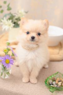 ポメラニアンとお花の写真素材 [FYI01767128]