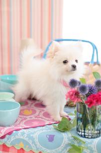 ポメラニアンと食器とお花の写真素材 [FYI01767129]