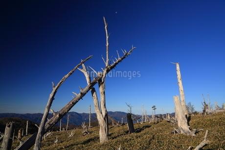 残月と枯木林の写真素材 [FYI01767157]