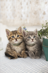並んだ2匹の猫の写真素材 [FYI01767192]